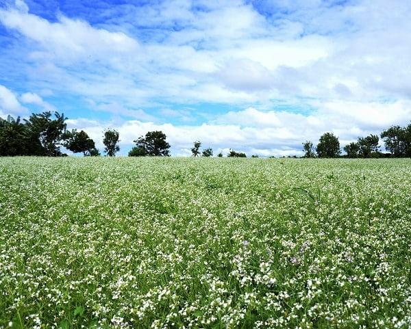 Ngắm vườn hoa cải trắng ở Đà Lạt vào mùa hè