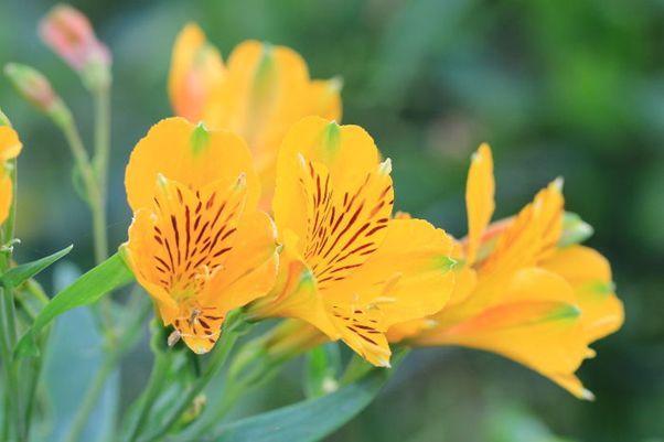 Hoa Huệ màu vàng