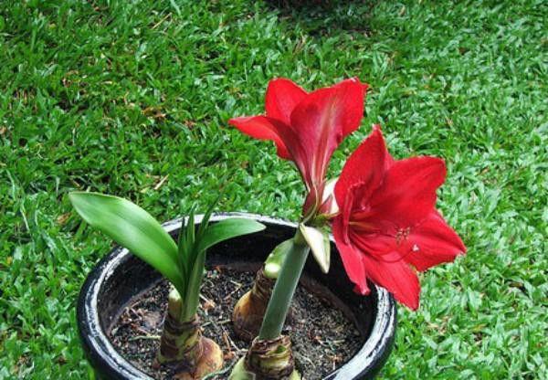Hoa Huệ màu đỏ
