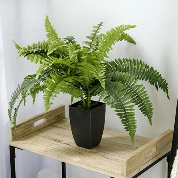 Trồng cây dương xỉ trong nhà