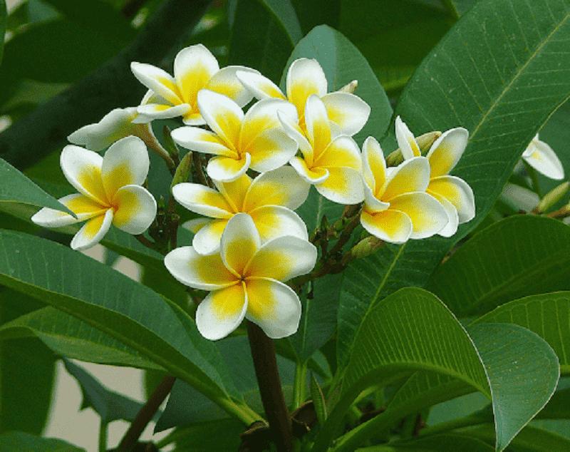 Nên trồng cây hoa sứ trong nhà