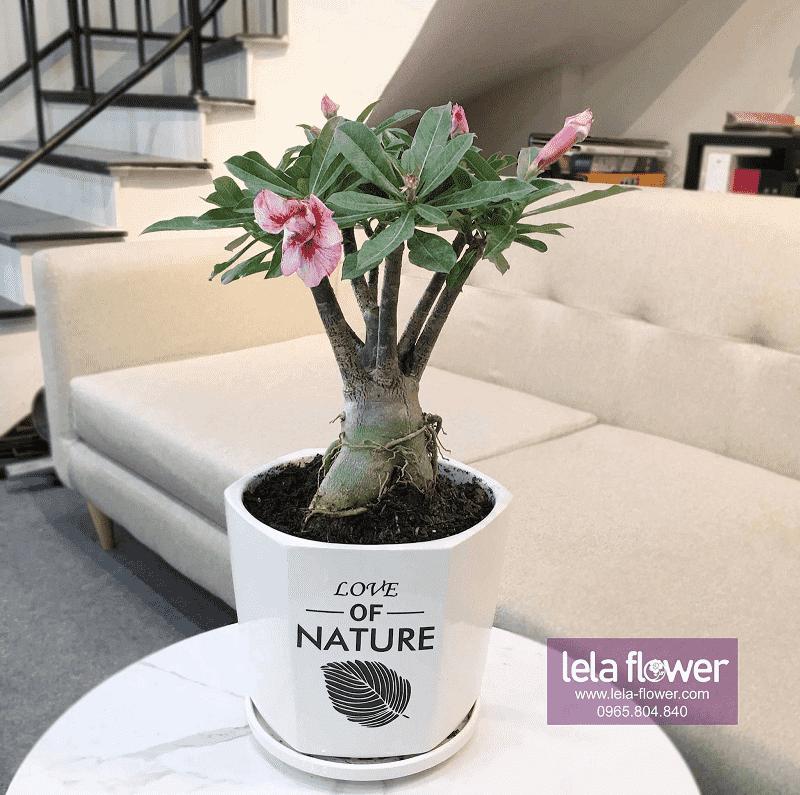 Cây hoa sứ thích hợp đặt nhiều vị trí