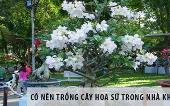 Có nên trồng cây hoa sứ trong nhà hay không?