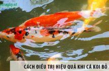 Cách điều trị hiệu quả khi cá koi bỏ ăn