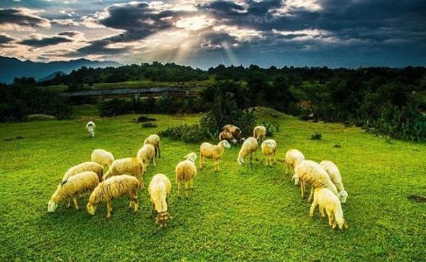 Đồng cừu An Hòa là 1 trong những địa điểm không thể bỏ qua ở Ninh Thuận
