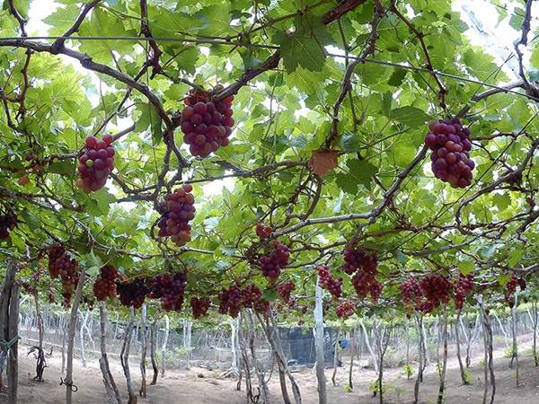 Vườn nho Ninh Thuận là 1 trong những địa điểm không thể bỏ qua ở Ninh Thuận