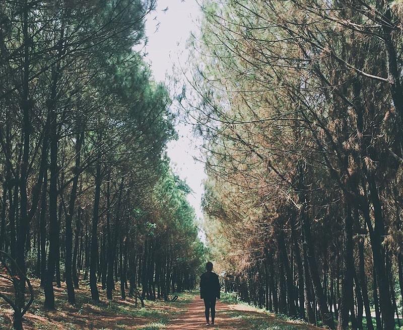 Rừng thông vô cùng ảo diệu đồi Vọng Cảnh