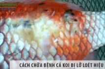 Cách chữa bệnh cá koi bị lở loét hiệu quả