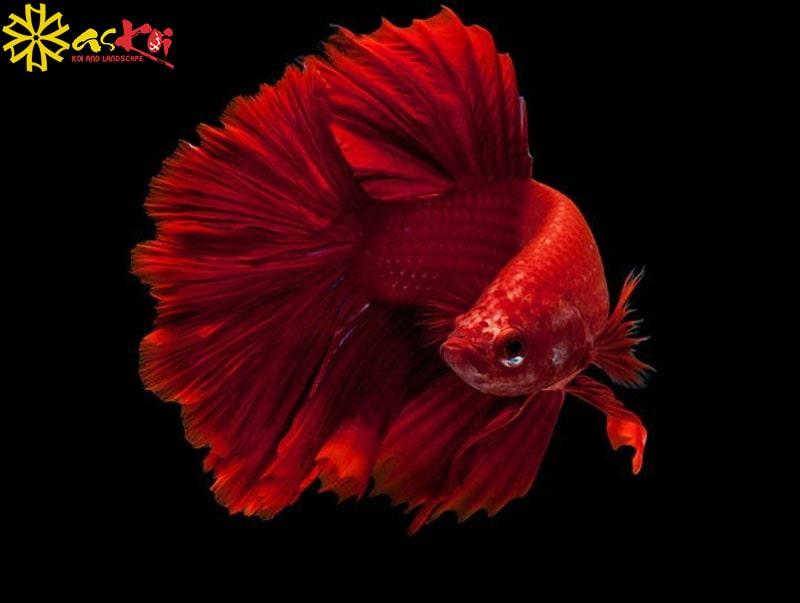 Cá Chọi